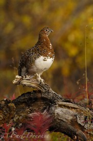 Female Willow ptarmigan in fall plumage, Wrangell St. Elias National Park, Alaska.