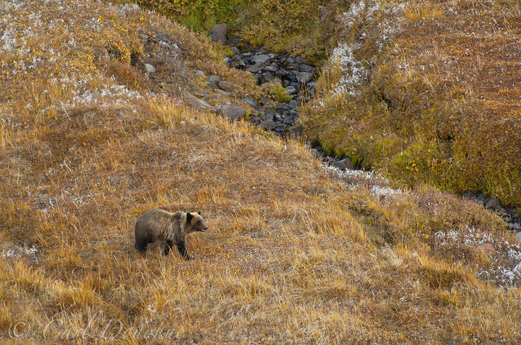 A young grizzly bear walks across the alpine tundra in search of food, not long before hibernation Wrangell-St Elias National Park, Alaska.