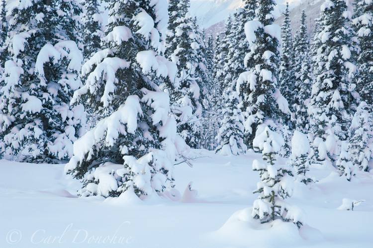 White spruce trees in winter, Alaska.