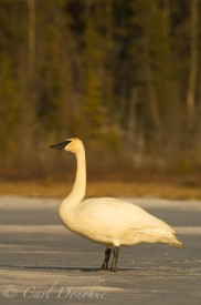 Trumpeter swan on ice, a frozen lake, spring, Wrangell - St. Elias National Park, Alaska.
