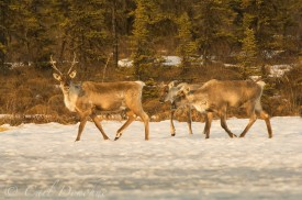 Caribou cow and 2 calves on frozen lake, ice and the snow in the winter, Nelchina herd, Wangell - St. Elias National Park, Alaska/