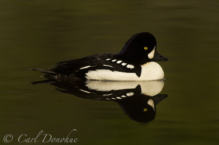Male Barrow's Goldeneye, Wrangell - St. Elias National Park, Alaska. (Bucephala islandica)