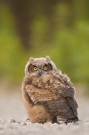 Great Horned Owl chick (owlet - Bubo virginianus), in Wrangell - St. Elias National Park and Preserve, Alaska.