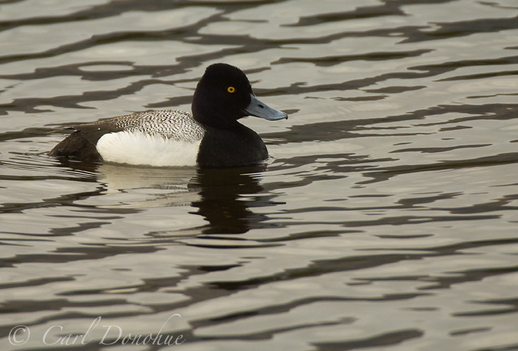 A male Greater Scaup.