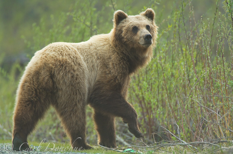 Grizzly Bear, Ursus arctos.