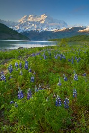 Lupine and Mt. St. Elias, Icy Bay, Wrangell - St. Elias National Park and Preserve, Alaska.