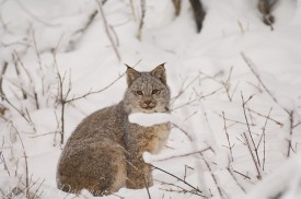 A female Canada Lynx in snow