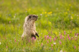Hoary Marmot (Marmota caligata), in alpine meadow near Chitistone Pass, Wrangell - St. Elias National Park, Alaska.