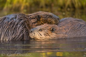 2 beaver grooming each other in a pond, fall or autumn, Wrangell - St. Elias National Park and Preserve, Alaska. (Castor canadensis)