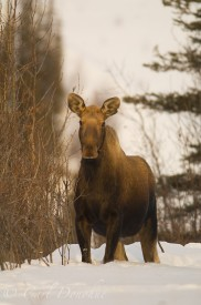 Cow moose in snow, Wrangell - St. Elias National Park