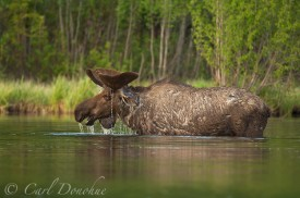 A bull moose browses aquatic plants in Long Lake, early summer, water dripping from his velveted antlers. Wrangell - St. Elias National Park and Preserve, Alaska. (Alces alces)