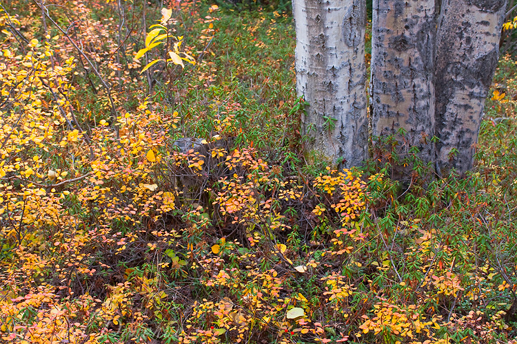 Fall color covers the ground in the Wrangell - St. Elias forest