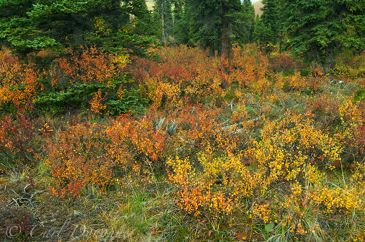 Fall colors in the northern boreal forest