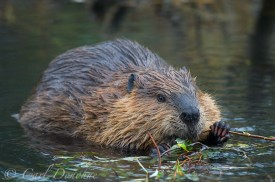 Adult beaver browsing on willow branches in a pond, Wrangell - St. Elias National Park, Alaska. (Castor canadensis)