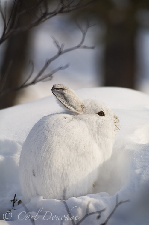 Snow bunny from st charles - 3 5
