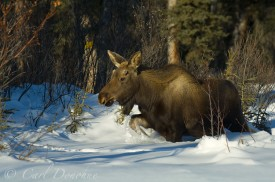 A young bull moose yearling walks through deep powdery snow in winter, Wrangell - St. Elias National Park, Alaska.