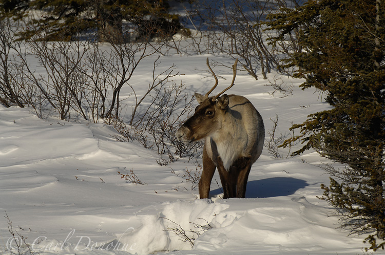 Caribou digging for snow, or cratering, near the Nutzotin Mountains.