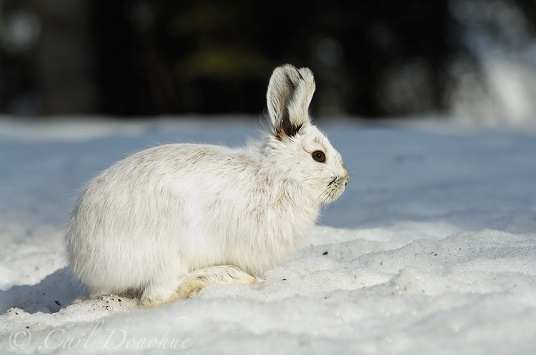 A snowshoe hare, molting in spring.