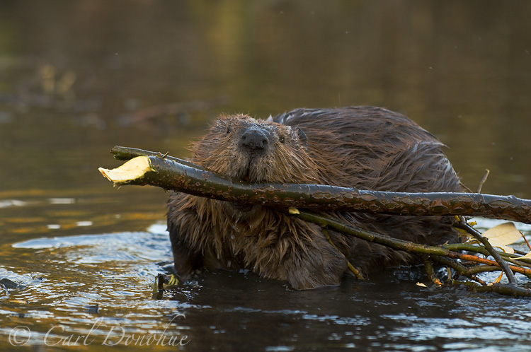 Beaver hauling wood, stores for the winter - willow branches in a small pond, Wrangell - St. Elias National Park, Alaska. (Castor canadensis)