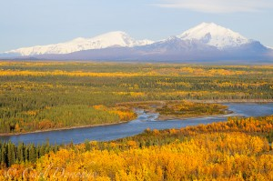 Fall in Wrangell - St. Elias National Park brings rich colors to the boreal forest. The poplars and aspen, along with stands of birch trees turn gold and yellow. Behind the Copper River lies Mt Sanford and Mt Drum. Forest of the Copper River Basin, Wrangell - St. Elias National Park and Preserve, Alaska.