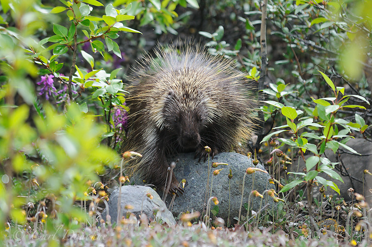 An American Porcupine, Erethizon dorsatum, in Wrangell - St. Elias National Park and Preserve, Alaska.