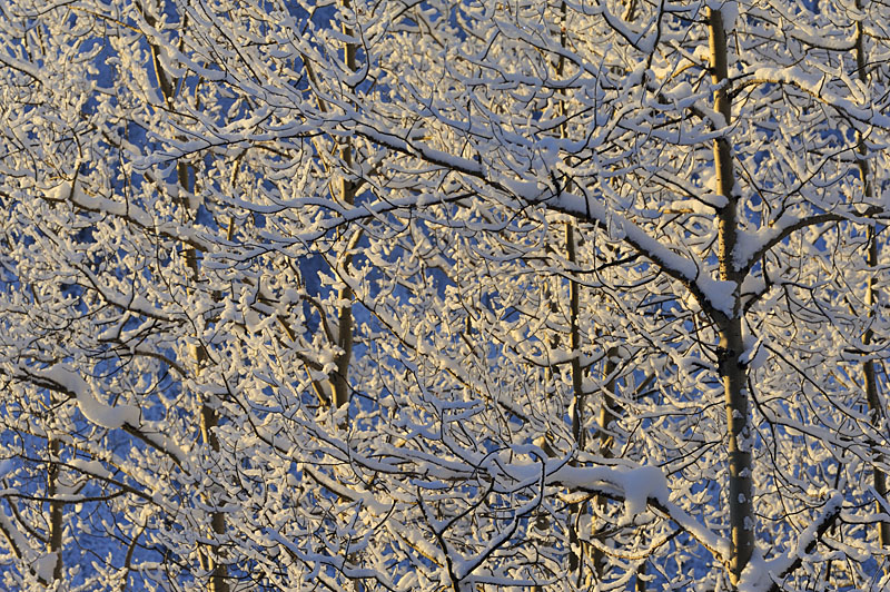 Fresh snow covers the branches and trunks of these young Balsam Poplar (Black Cottonwood, Populus trichocarpa) trees in Wrangell - St. Elias National Park and Preserve, Alaska.
