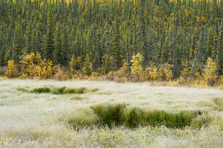 Frost on grasses, fall colors and a spruce forest on a chilly autumn morning. This image was taken off the McCarthy Road, Wrangell-St. Elias National Park, Alaska.