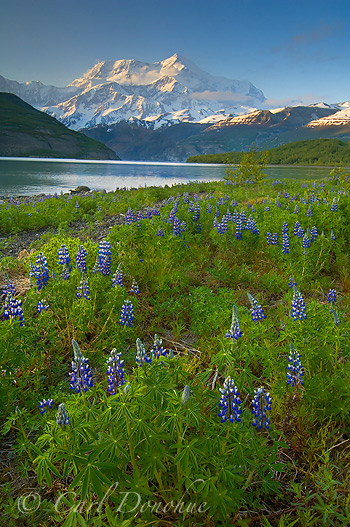 icy bay, Lupine and Mt. St. Elias, Wrangell St. Elias National Park, Alaska.