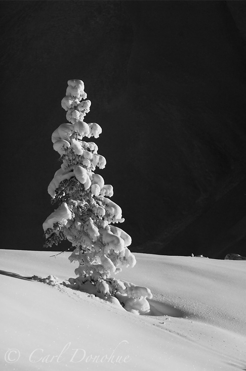 Black and white photo of a snow covered spruce tree in winter, Wrangell - St. Elias National Park, Alaska.