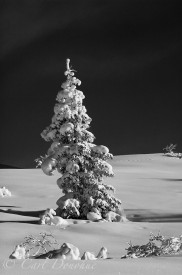 Snow covered spruce tree in winter, on Bonanza ridge, Wrangell - St. Elias National Park, Alaska.