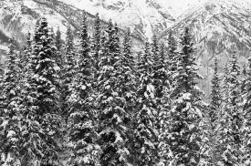 The boreal forest in winter, snow covered spruce trees, Wrangell - St. Elias National Park Alaska.