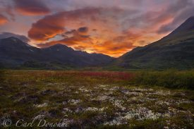 Alpine tundra, reindeer lichens and Common fireweed, sunset, near Tebay lakes, Chugach Mountains, Wrangell - St. Elias National Park and Preserve, Alaska.