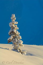 Snow covered spruce tree in winter, Wrangell - St. Elias National Park, Alaska.
