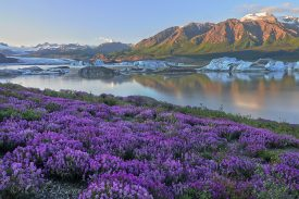 Wildflowers (Wild Sweet Pea, Hedysarum Mackenzii) and icebergs, Nizina Lake and Nizina Glacier, Wrangell - St. Elias, Alaska.