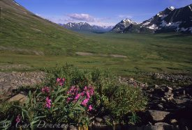 Dwarf fireweed (Epilobium latifolium) blooms among the lush green vegetation of this broad alpine valley in the Chugach Mountains, Wrangell-St. Elias National Park, Alaska.