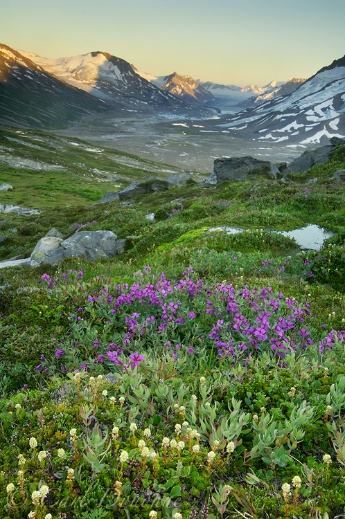Dwarf Fireweed and Tana Glacier in Chugach Mountains at Iceberg Lake, Wrangell - St. Elias National Park, Alaska.